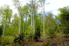 Pogórzański las bukowy