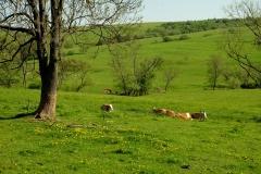 Łąki i odpoczywające krowy nad Ryjakiem