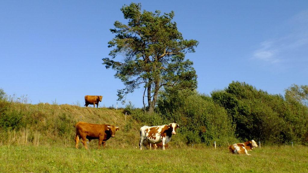 Krowy pasące się pod i na wale Walika.