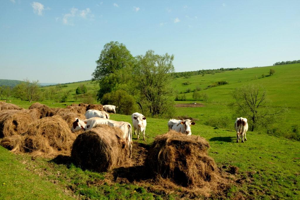 Krowy pasące się nad potokiem Ryjak.