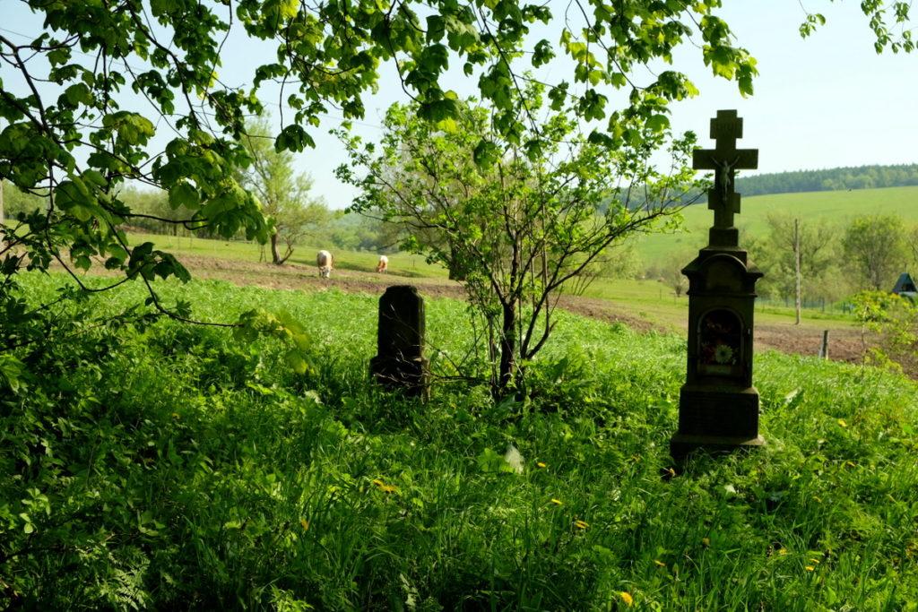 Zniszczony cmentarz łemkowski w Ożennej, w tle pasące się krowy.
