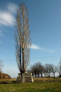 Jedyna zachowana jeszcze topola włoska przy odnowionym cmentarzu nr 10 w Woli Cieklińskiej (Sieniawa) przy skrzyżowaniu dróg Folusz - Jasło oraz Gorlice - Nowy Żmigród. Zaprojektował go Dušan Jurkovič.