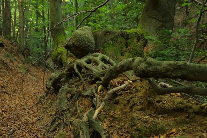 bukowe korzenie w jarze potoku Pachniączka.