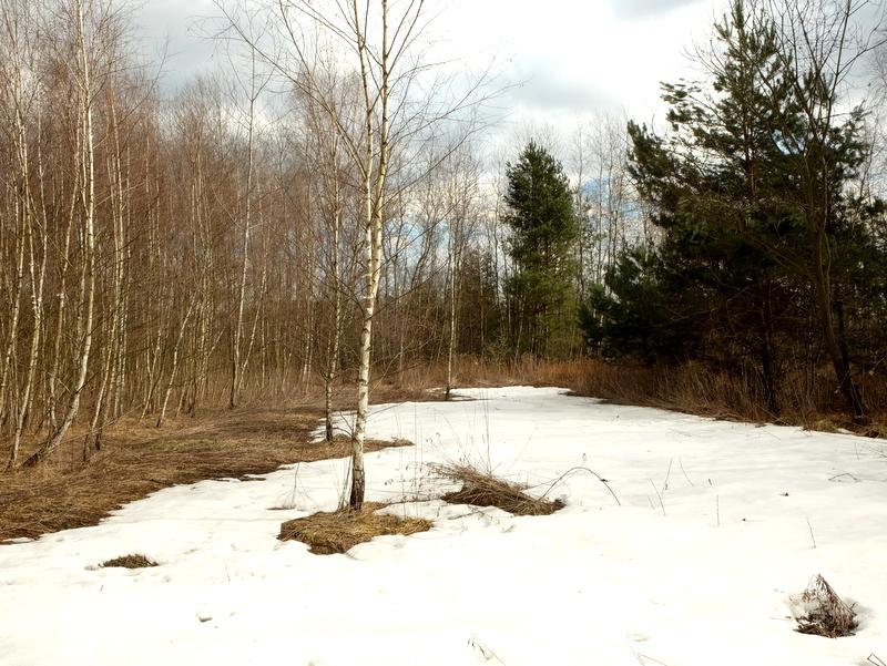 Płaty śniegu w lesie brzozowym